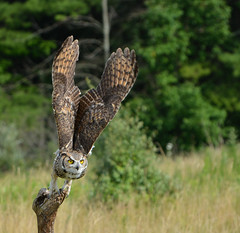 taking off (phbyo) Tags: owl canadianraptorconservancy