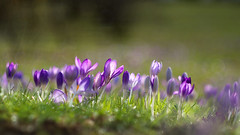 friday's flower power (Sabinche) Tags: crocus flower purple spring pancolar 50mm18