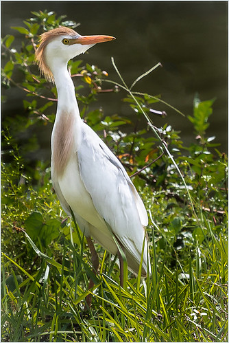 09-Cattle Egret