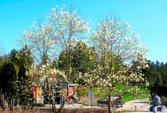 Magnolias-Fuji X-PRO2 (Preskon) Tags: nature people trees kiosk benches mortonarboretum lisleil