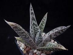 Aloe sladeniana, Namibia