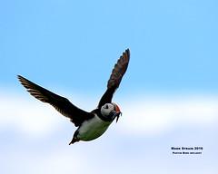 AN9A8595a (Mark Strain.) Tags: puffin wild birds nature wildlife wildbirds wildbird n mark strain