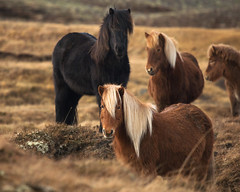 eye contact (Andy Kennelly) Tags: icelandic horses horse iceland eye contact beautiful long hair grass hill