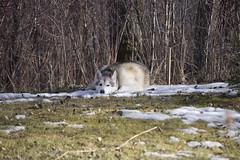 A sad snow dog. (wilderness_wanderer) Tags: malamute dog alaskanmalamute alberta spring snow