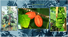 G   dans les jardins de Kay Abe © martinique   papayes ,cabosses ,bananes (philippedaniele) Tags: vividstricking cabosse papaye bananier banane fruitsexotiques fruits martinique kayabe caribbean flickr group