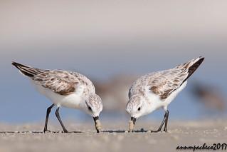 double dippin sanderlings
