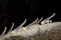 lantern bug nymph, zanna.sp (zaidirazak) Tags: zaidirazak malaysia nature wildlife macro closeup insects lanternbug