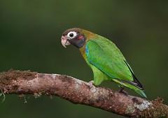 Brown-hooded Parrot (anacm.silva) Tags: brownhoodedparrot parrot papagaio ave bird wild wildlife nature natureza naturaleza birds aves lagunadellagarto costarica bocatapada pyriliahaematotis lagunadellagartolodge