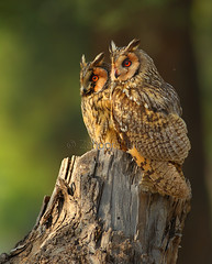Long-eared owl (Zahoor-Salmi) Tags: zahoorsalmi salmi wildlife pakistan wwf nature natural canon birds watch animals bbc flickr google discovery chanals tv lens camera 7d mark 2 beutty photo macro action walpapers bhalwal punjab