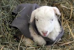 Lamb jacket (baalands) Tags: katahdin crossbred hair sheep lamb lacaune dairy twin jacket coat