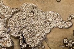 Hundreds of aggregating anemones (stshank) Tags: halfmoonbay beach hike seaanemone