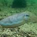 Mourning cuttle - Sepia plangon