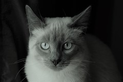 Jack the Cat (steve_scordino) Tags: cat siamese blackandwhite