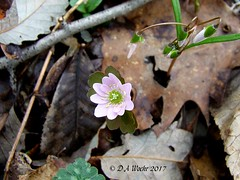 Rue-anemone (Picsnapper1212) Tags: rueanemone windflower wildflower flower plant woodland spring nature ftancient oregonia ohio warrencounty