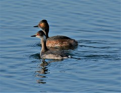 Blacknecked Grebes (GrahamParryWildlife) Tags: 7d sport 150600 sigma grahamparrywildlife small uk kent rspb dungeness animal outdoor viewing photo flickr add new sunlight depth field plumage mk2 blacknecked grebe black neck