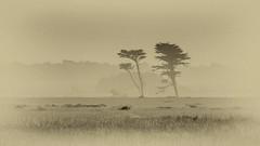 The Twin Cypresses of Ano Nuevo (CDay DaytimeStudios w/1,000,000 views) Tags: anonuevo anonuevostatepark beach ca california californiasateparks cloud clouds cloudy cloudyday coastline fog pacificcoast pacificcoasthighway road sanmateocoast trees