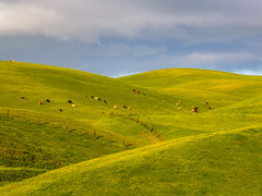 Cattle on Hillsides (Rod Heywood) Tags: cattle hills hillside sunny green greenhills lines contours afternoon clouds cloudy grazing ranch montereycounty fence fenceposts ranchland