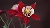 ancolie des jardins (jacquescornet44) Tags: nature ancolie fleur flower gouttelettes eau waterdroplets flore
