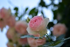 Rose 'Pierre de Ronsard' raised in France (naruo0720) Tags: rose frenchrose pierrederonsard frenchrosescollection bokeh macro バラ ピエール・ド・ロンサール フレンチローズ フランスのバラ フランスのバラコレクション マクロ ボケ