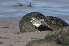 Morning exercises (Brian Dunning) Tags: bird wader ringedplover charadriushiaticula llanbedr gwynedd wales canon eos7dmarkii ef400mmf4doisusm
