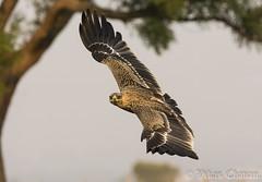 Juvenile Tawny Eagle. (Vikas.B.Chavan) Tags: nikond7100 afsnikkor300mmf4difed tawnyeagle aquilarapax ngc