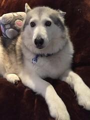 Concerned (redwolfoz) Tags: malamute alaskanmalamute pod dog grey husky siberianhusky companioncube cube portal