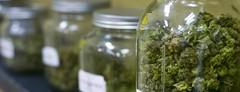 Opioid Abuse Is Plummeting In States With Legal Marijuana (theoilyguru.org) Tags: cannabis health medical marijuana chronic pain fewer side effecs heroin abuse legal less adictive manage symptoms opioid