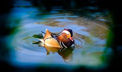 Beauty of the Mandarin Duck... (kevingrieve610) Tags: mandarin duck connaught waters essex flickr fujifilm outdoors nature bird wildlife blue colourful spring 2017 inexplore explore