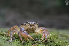 Agnese Meliconi - granchio di fiume