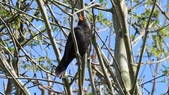 Blackbird Flycatcher, Hangman Path, Combe Martin, Devon 11 April 2017 (Cold War Warrior) Tags: blackbird turdusmerula combemartin devon