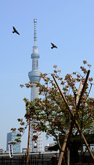 Birds (iainwalker) Tags: plant tree tower birds japan architecture tokyo flying structure asakusa props 2014 broadcasttower tokyoskytree tkysukaitsur nikond7100