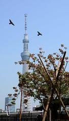 Birds (iainwalker) Tags: plant tree tower birds japan architecture tokyo flying structure asakusa props 2014 broadcasttower tokyoskytree tōkyōsukaitsurī nikond7100