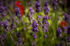 Bienenschmaus (PMU - Photography) Tags: red flower rot lila bee blte biene lecker lavendel futter
