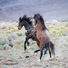 Wild Stallions (MyKeyC) Tags: wild horses horse nevada stallions wildhorses stallion carsonvalley