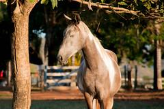 Égua ensolarada (antonioigor) Tags: horse animal brasil cavalo dormindo descanso fazenda égua moldura pensativa ensolarado canon70d antonioigor