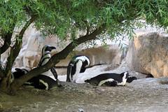 The African penguin (Spheniscus demersus), the jackass penguin, black-footed penguin. (LLOVGREEN) Tags: berlin germany zoo spheniscusdemersus cityzoo blackfootedpenguin hardenbergplatz zoologischergartenberlin theafricanpenguin thejackasspenguin