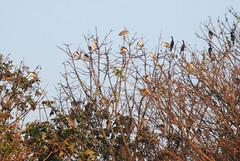 Heronry (Saleh Reza) Tags: bird ecology university disaster imaging ru rajshahi pakhi