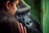 Compassion (Chrisnaton) Tags: girl solitude gorilla compassion empathy consolation solace homesickness