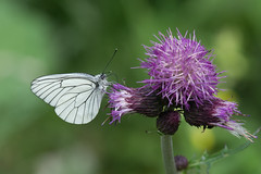 Black-veined White Butterfly (finor) Tags: summer sun white nature sunshine animals butterfly insect sony ilce aporia crataegi blackveined mirrorless a6000 sal70300g laea2 α6000 ilce6000