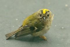 De pechvogel van de week, een jong Goudhaantje. (Ervanofoto) Tags: bird birds nikon belgium belgique vogels belgië d200 vögel vogel oiseaux belgien kontich waarloos tc20eiii ervanofoto kontichwaarloos