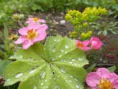 Cinquefoil (IrenicRhonda) Tags: flowers plant public geotagged scotland highlands unitedkingdom may escocia done fortgeorge schottland ecosse 2014 gbr strathpeffer highlandsandislands p4m redbubble lascozia  blackisleward westerrossstrathpefferandlo westerrossstrathpefferandlochalshward geo:lat=5758824722 geo:lon=453783889