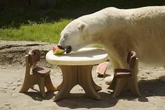 DSC_4347 (ucumari photography) Tags: bear party animal mammal zoo oso nc treats north july polarbear carolina 4thofjuly ursusmaritimus 2014 oursblanc osopolar ourspolaire ucumariphotography dsc4347
