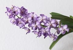 Vanda 'Vasco Blue' (blumenbiene) Tags: flowers blue orchid flower orchids vanda orchidee blüte vasco blüten orchideen orchideenblüte