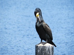 neat bird / reinlicher Vogel (>kaboom<) Tags: bird natur cormorant mp rgen ostsee vogel 2014 kormoran jaich