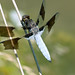 Male Whitetail Skimmer Dragonfly at Metzger Farm Open Space, Colorado