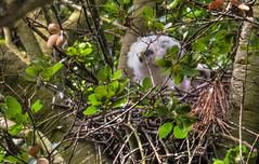P1030035ChickV2 copyAnd1more_tonemapped (misterken) Tags: park nest hawk panasonic chicks elcerrito dijemry misterken photomatixhdrdijemrymisterken canyontrailspark luixphotomatixhdrdijemrymisterken