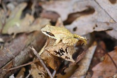 "Wood Frog • <a style=""font-size:0.8em;"" href=""http://www.flickr.com/photos/92887964@N02/14420761607/"" target=""_blank"">View on Flickr</a>"