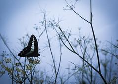 ブルーの世界。 (e_haya) Tags: flowers sky butterfly 青条揚羽 ウイキョウ sonynex5