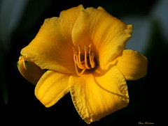 Day Lily (Explore) (Diane Marshman) Tags: summer plant flower nature yellow canon garden petals day lily blossom pennsylvania pa bloomer 7d blooms northeast perennial