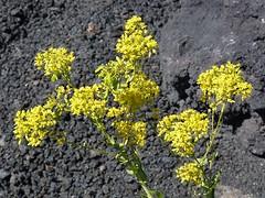 Isatis tinctoria (Guado) (Luigi Strano) Tags: flowers flores fleurs flor blumen wildflowers fiori guado alpineflowers isatistinctoria floraalpina